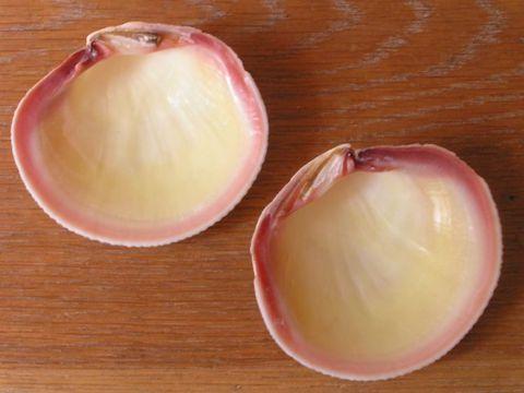 Genisi Perle naturali Codakia - Il mollusco