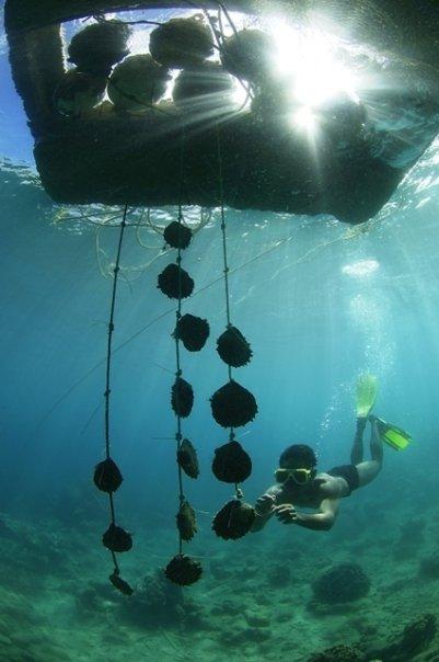 Cercatore di perle, Polinesia Francese
